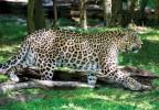 Центр природы Кавказа - переднеазиатский леопард
