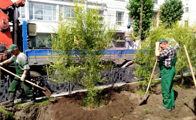 На аллее Красного проспекта высадили живую изгородь из вязов